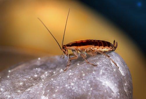 Blattella Germanica, German Cockroach, Unhygienic
