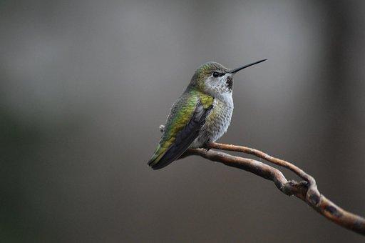 Anna's Hummingbird, Bird, Hummingbird, Branch, Perched