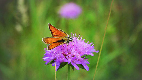 Butterfly, Small Skipper, Flower, Insect, Animal, Wings