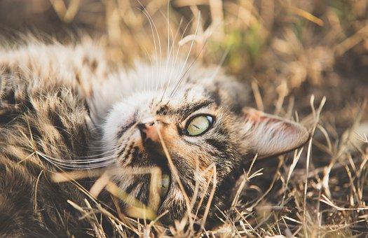 Cat, Grass, Lying Down, Cat's Eyes, Feline, Kitten