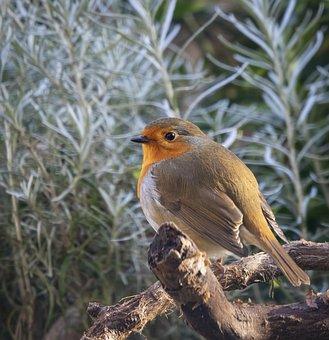 Robin, Bird, Songbird, Branch, Perched, Perched Bird