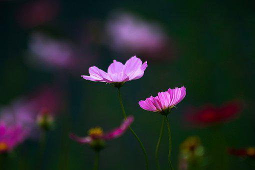 Cosmos, Flowers, Pair, Purple Flowers