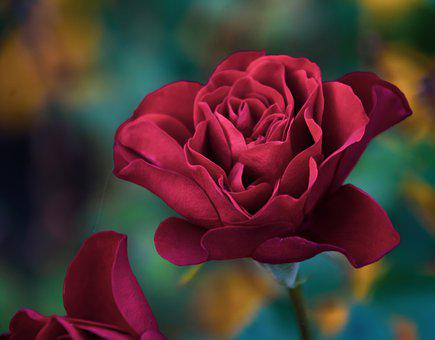 Rose, Red, Flower, Petals, Red Rose, Red Flower