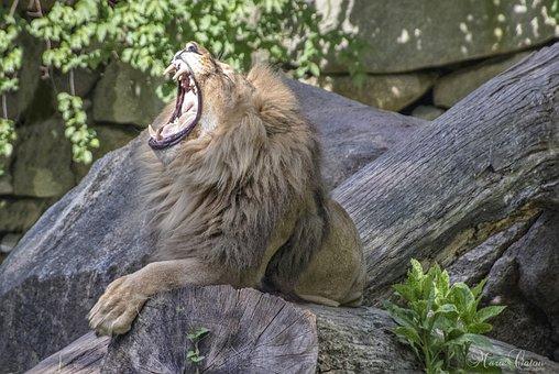 Lion, Roar, Zoo, Animal, Mammal, Big Cat, Wild Animal