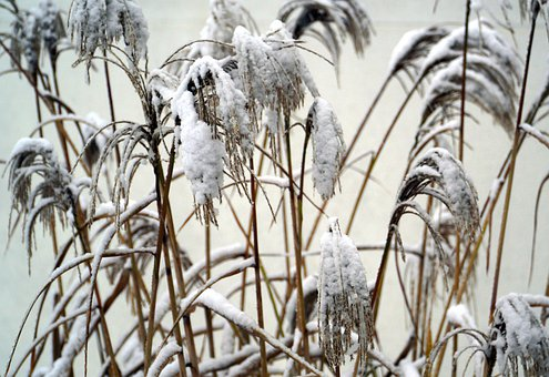 Snow, Grasses, Winter, Nature, Snowy, Wintry, Frost