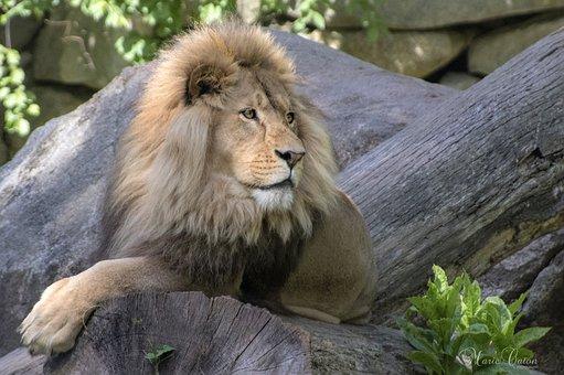 Lion, Animal, Zoo, Mammal, Big Cat, Wild Animal
