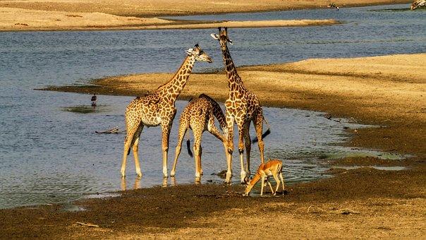 Giraffes, Impala, Safari, Animals, Mammals, Wildlife