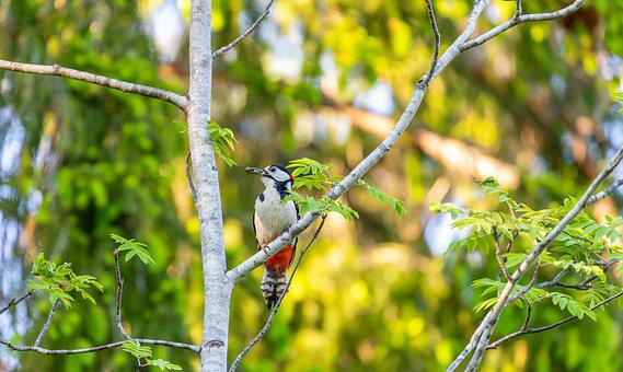 Woodpecker, Bird, Perched, Branches, Tree, Perched Bird