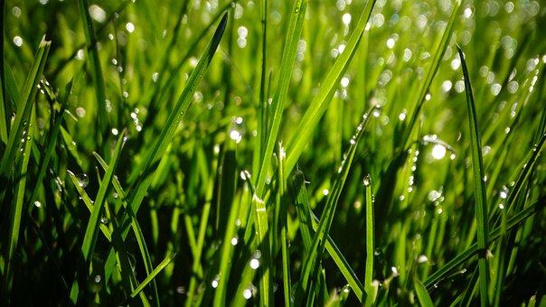Grasses, Field, Dew, Dewdrops, Droplets