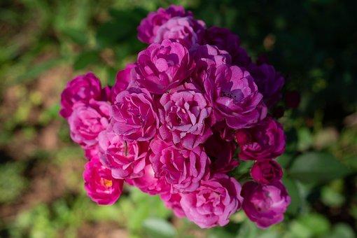 Garden Roses, Flowers, Plant, Bloom, Blossom