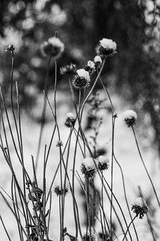Plants, Frost, Black And White