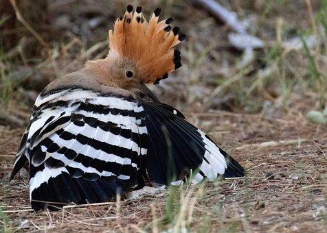 Spain, Hoopoe, Bird, Feathers, Plumage, Ornithology