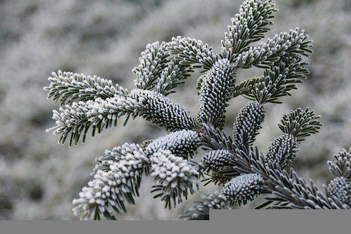 Fir, Branch, Frost, Frozen, Ice, Snow, Winter, Cold