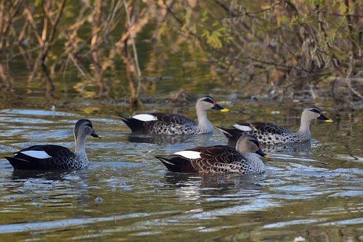Indian Spot-billed Ducks, Swimming, Spot-billed Ducks