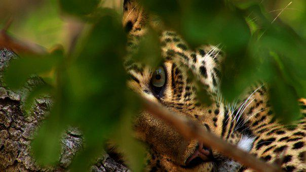 Leopard, Eye, Big Cat, Animal, Wildlife, Predator