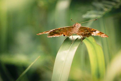 Kupu-kupu, Macro, Makro, Butterfly, Wing, Nature
