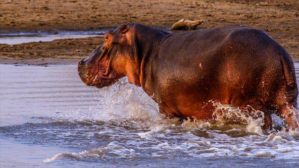 Hippo, Hippopotamus, Bathing, Pachyderm