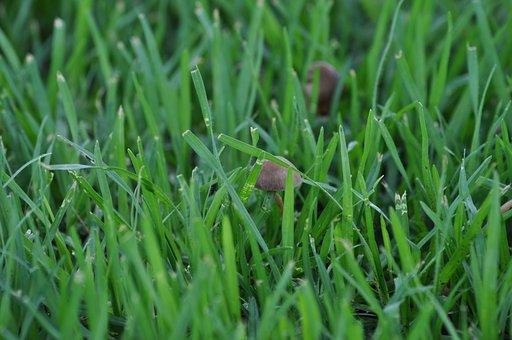 Mushroom, Fungi, Fungus, Grass, Pasture