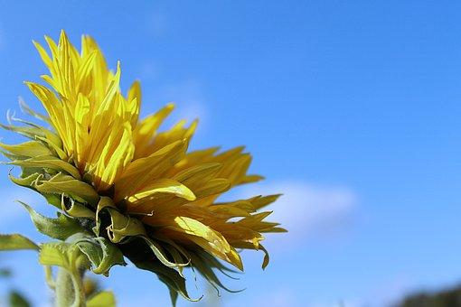 Sunflower, Sunflower Bloom, Sunflower Field, Petals