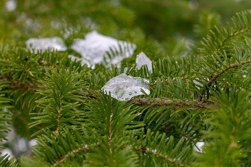 Pine, Branch, Ice, Pine Needles, Conifer, Evergreen