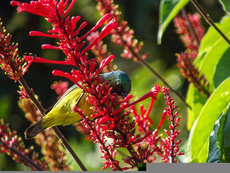 Southern Double-collared Sunbird, Male
