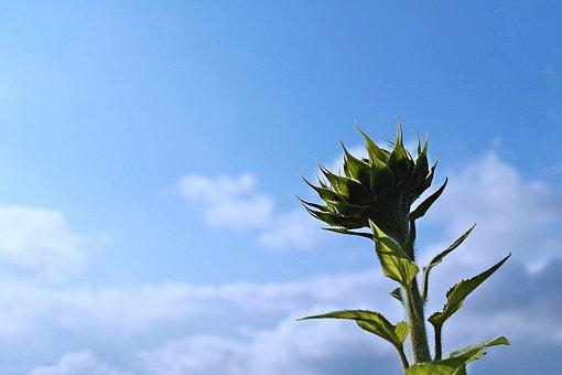 Sunflower, Sunflower Bloom, Sunflower Field, Bloom