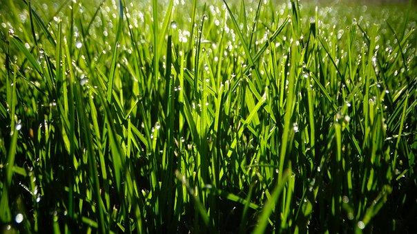 Grasses, Field, Dew, Dewdrops, Droplets, Sunlight