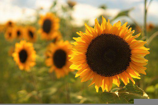 Sunflower, Flower, Plant, Yellow Flower