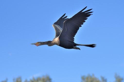 Snakebird, Flying, Sky, Anhinga, Darter, Bird, Animal