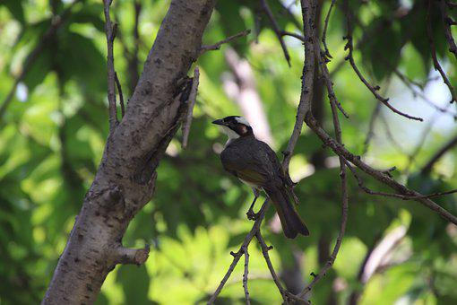 Light-vented Bulbul, Bird, Branch, Perched, Animal