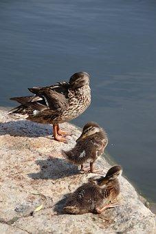 Mallard, Ducks, Chicks, Birds, Duck Family