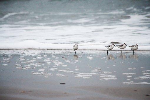 Sandpipers, Sand, Beach, Ocean, Sea, Birds, Waders