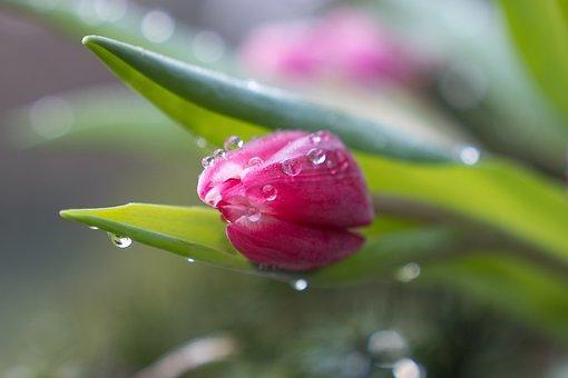 Tulip, Bud, Dew, Flower, Pink Flower, Dewdrops