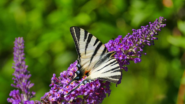 Scarce Swallowtail, Butterfly, Butterfly Bush, Insect