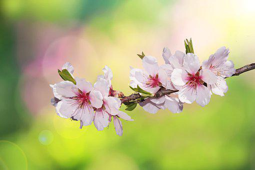 Cherry Blossom, Flowers, Branch, Pink Flowers, Bloom