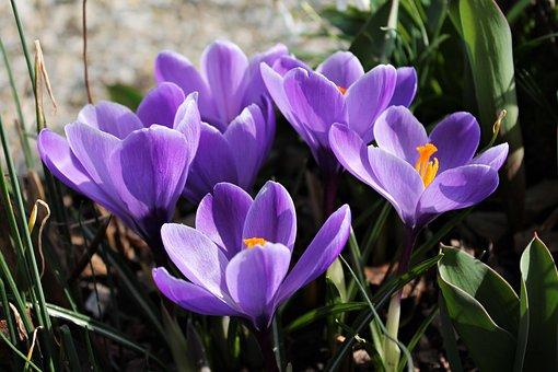 Crocus, Flowers, Puple Flowers, Petals