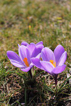 Flowers, Crocus, Plant, Spring, Early Bloomer