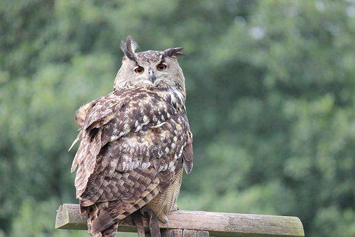 Owl, Bird, Eurasian Eagle-owl, Bird Of Prey, Nature