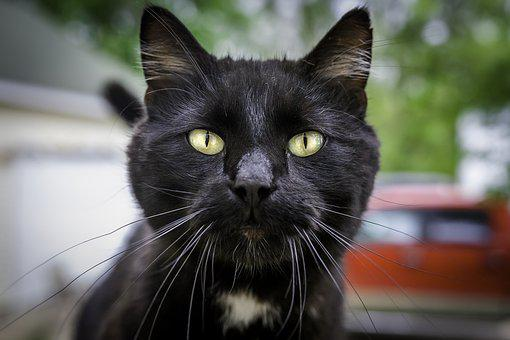 Cat, Pet, Face, Whiskers, Black Cat, Animal