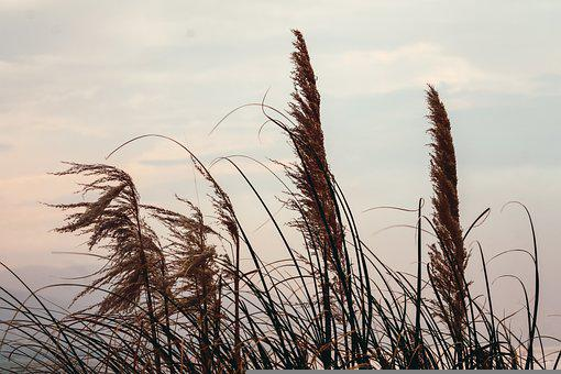 Reed, Grasses, Field, Plants, Meadow, Summer, Sunset