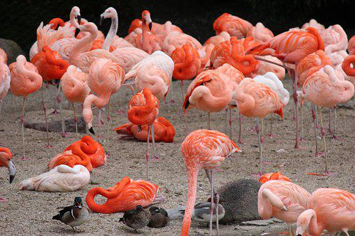 Flamingos, Flock, Group, Birds, Water Birds