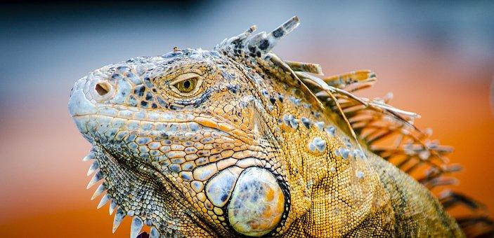 Iguana, Cozumel, Mexico