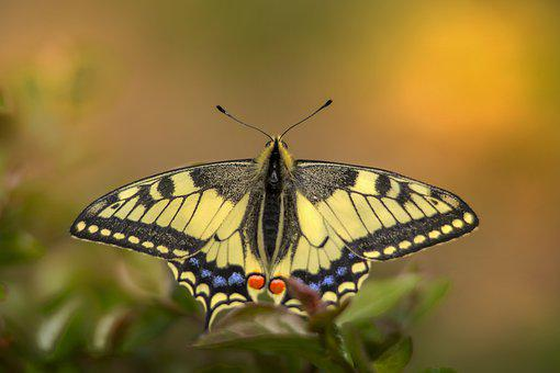 Old World Swallowtail, Butterfly, Insect, Winged Insect