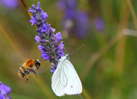 Bee, Butterfly, Lavender, Flower, Insects, Pollinate