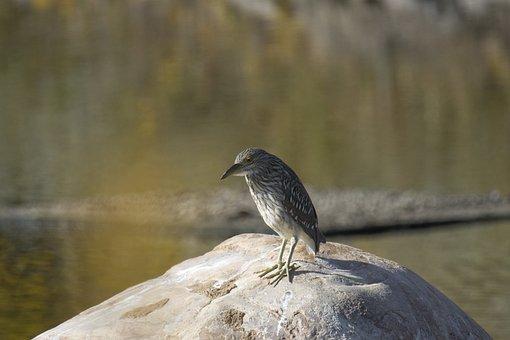 Black-crowned Night Heron, Juvenile, Bird, Rock
