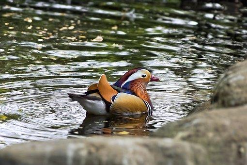 Mandarin Duck, Duck, Lake, Bird, Waterfowl, Water Bird