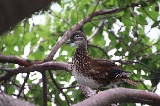 Mandarin Duck, Duck, Branch, Perched, Bird, Waterfowl