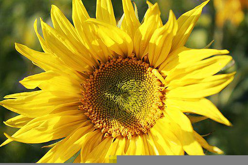 Sunflower, Petals, Pollen, Seeds, Sunflower Seeds