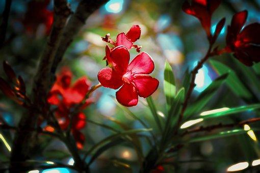 Oleander, Flower, Plant, Petals, Red Flower, Bloom