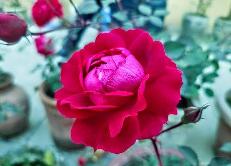 Rose, Flower, Plant, Petals, Rosa, Bloom, Blossom